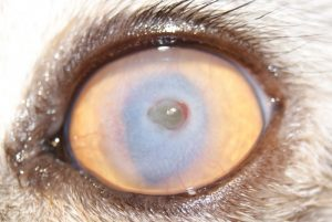 Язва роговицы у кошек причины диагностика лечение