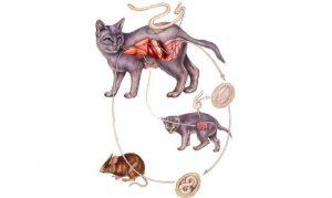 Гепатит у кошек заразна ли