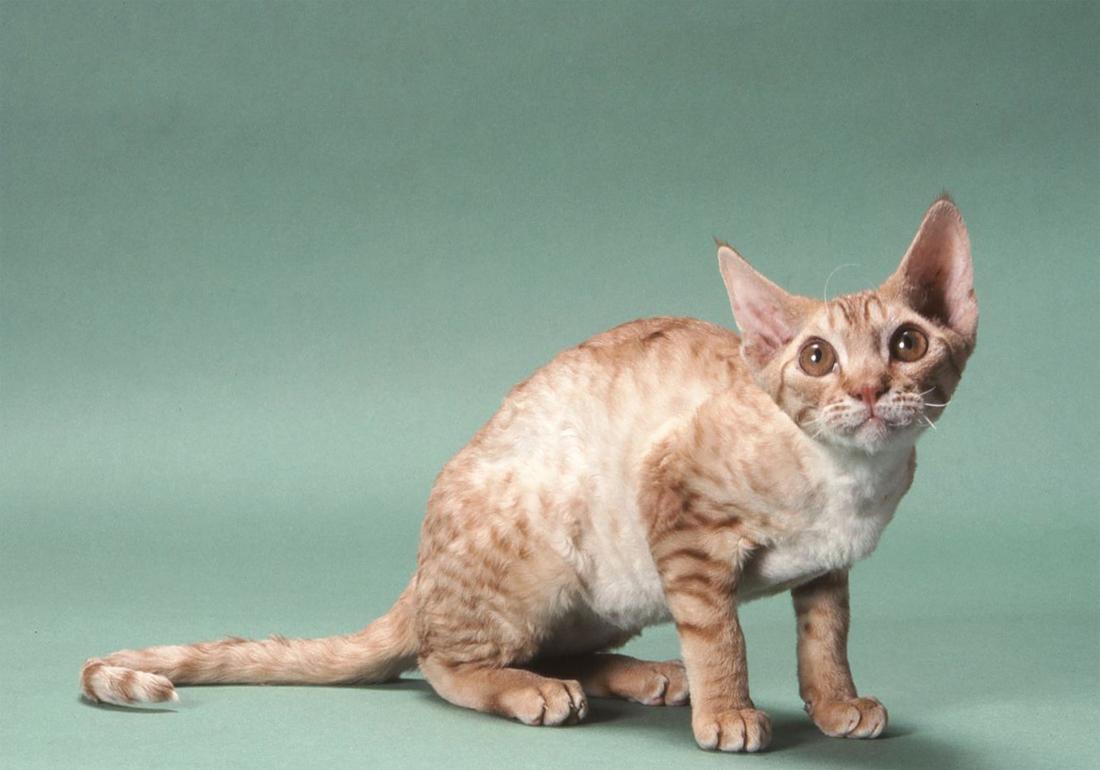 союз картинки немецких кошек всероссийском научно-исследовательском институте