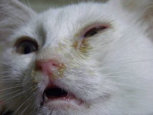Можно ли давать кошке водку при простуде thumbnail