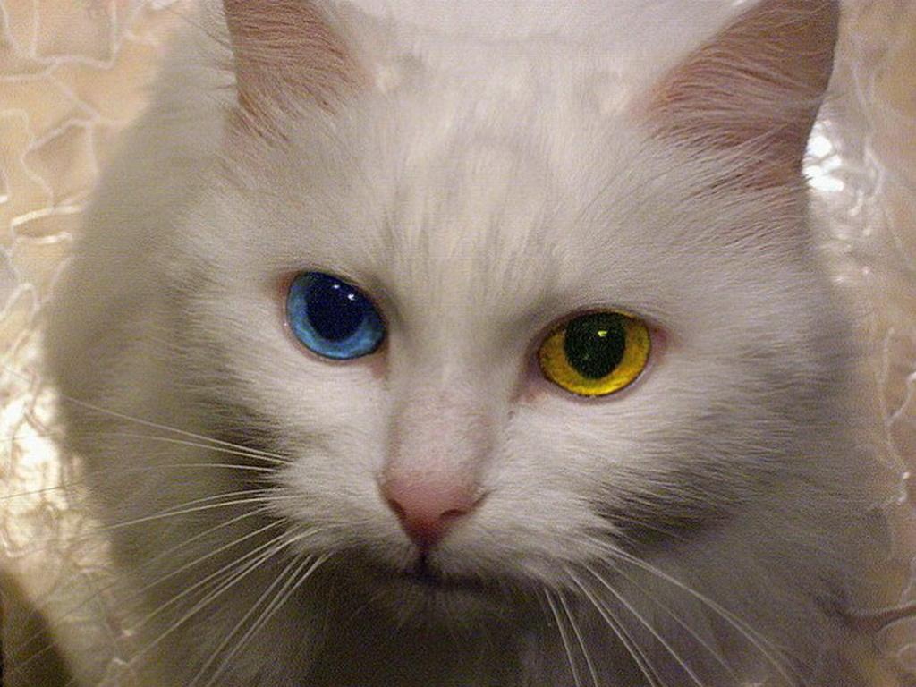 Шотландские пушистые кошки фото носить могут