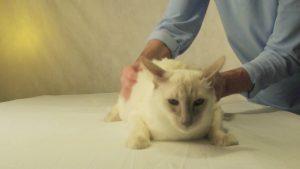 Защемление седалищного нерва у кота лечение