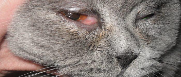 Травма глаза у кошки симптомы диагностика и лечение